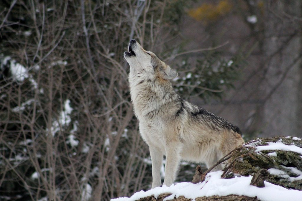 wolf, howling, animal